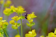 Ameise auf Zypressenwolfsmilch-Blüte