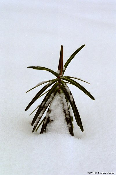 Kreuzblättrige Wolfsmilch (Euphorbia lathyris)