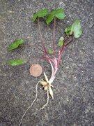 Scharbockskraut - Ganze Pflanze