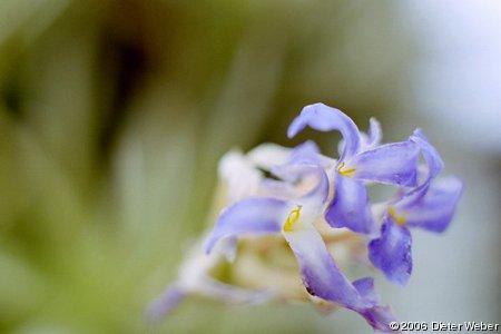 Tillandsia bergeri Blüten-Detail