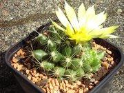 Mammillaria longimamma oder Mammillaria sphaerica