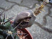 Frucht von Gymnocalycium gibbosum (?)