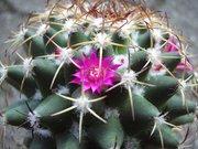 Mammillaria polythele