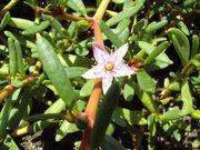 An Salz angepasste Pflanze