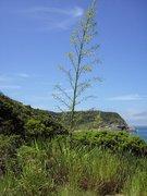 Agaven-Blütenstand