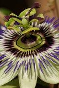 Blüte einer Passionsblume (Passiflora caerulea)