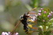 Wildbiene (Nomada?) auf Thymian