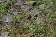 Küken eines Watvogels (kA welcher)